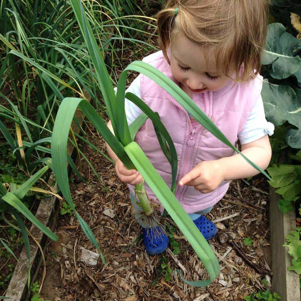My daughter picking leeks for chicken and leek casserole